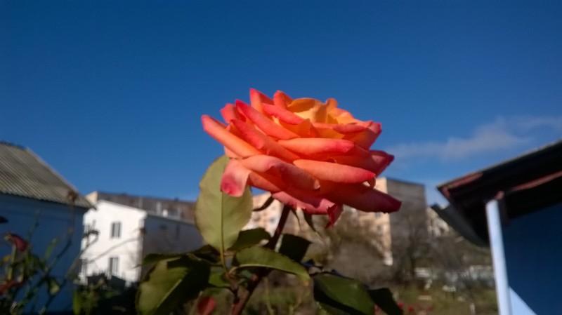 Конец ноября... Розы у домика, туалет в котором мне обошёлся в 100 штук)))