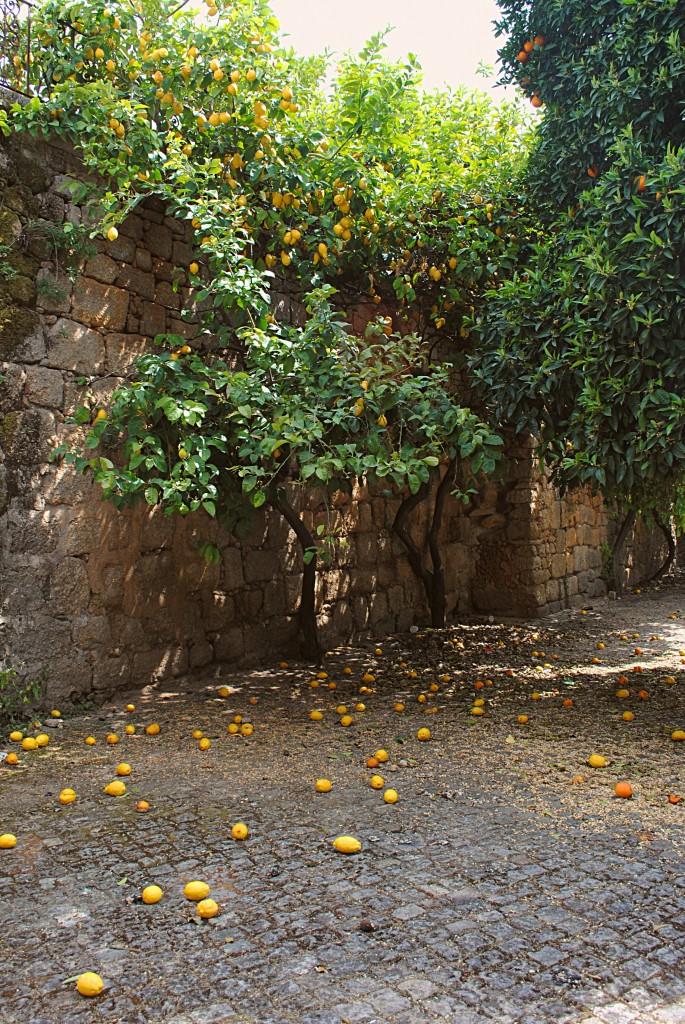 Плоды подавляющего большинства цитрусовых падают и пропадают почём зря…