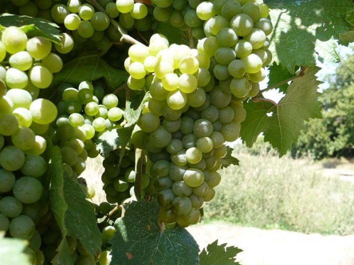 Темрюкский виноград