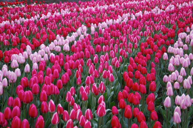 Keukenhof. Большой – и самый туристически распиаренный цветочный парк