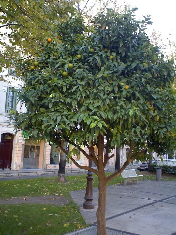 У нас растут липы, там растут мандарины. Были там и очень желтые, и ярко-оранжевые, и зеленые