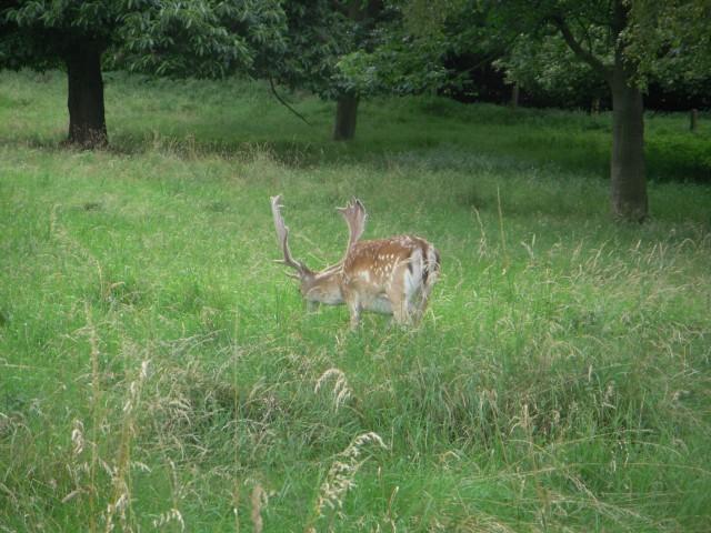 Фото 4.  Олений парк Воллатон, город Ноттингем