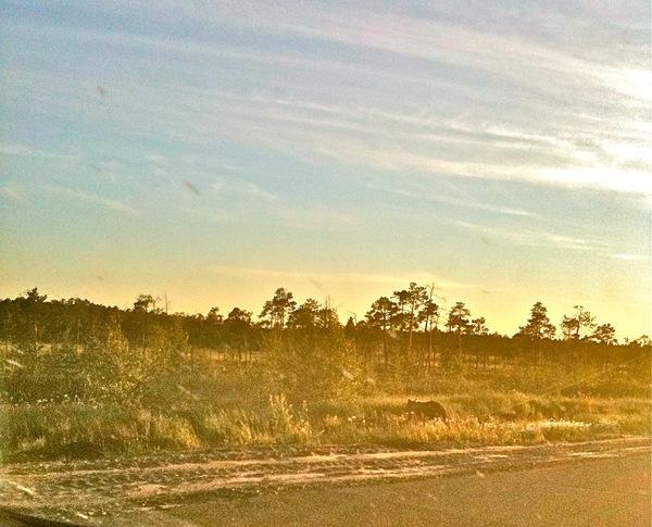 Как только отъехали, на дороге нам попался настоящий медведь. Фото сделано ввпопыхах на телефон, как-то не ожидали мы его увидеть прям на дороге