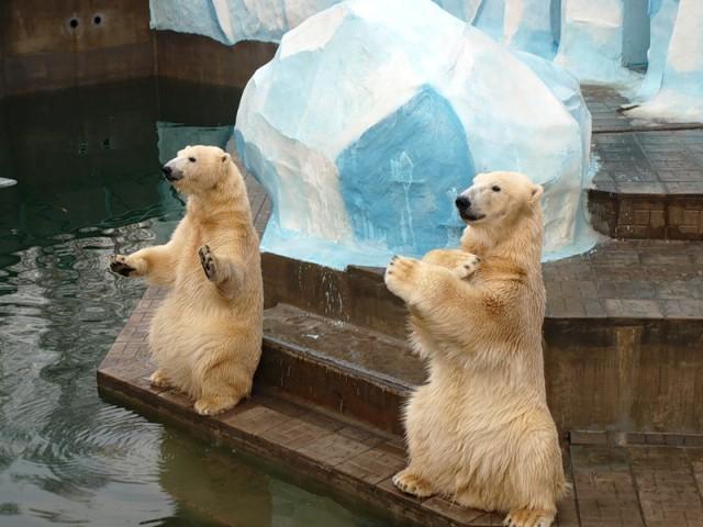 Новосибирский зоопарк. Суперзвёзды зоопарка - медведи Кай и Герда