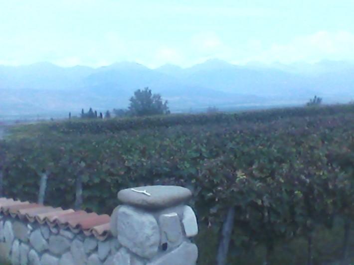 Виноградники сорта Цоликаури