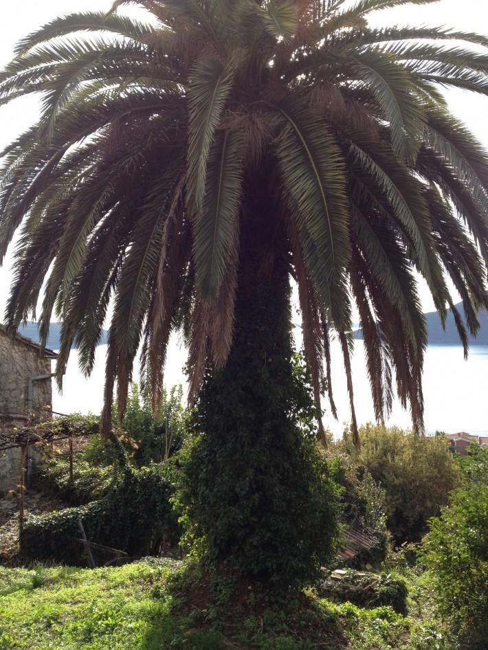 Вечнозелёная пальма около нашего дома. 2014 год