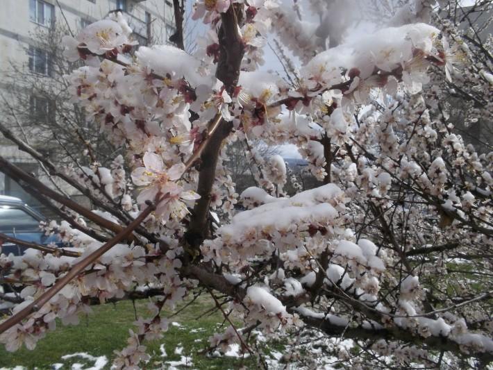 Аномально выпавший снег в апреле, когда цвели плодовые деревья, 2012 г.