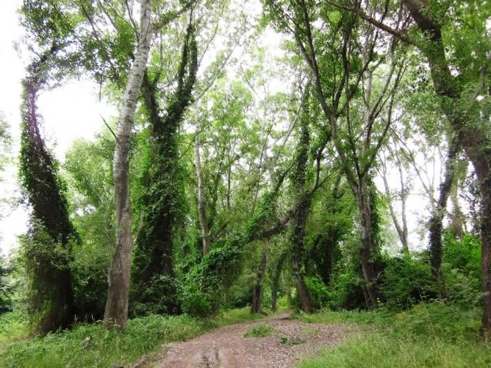 Лиановый лес