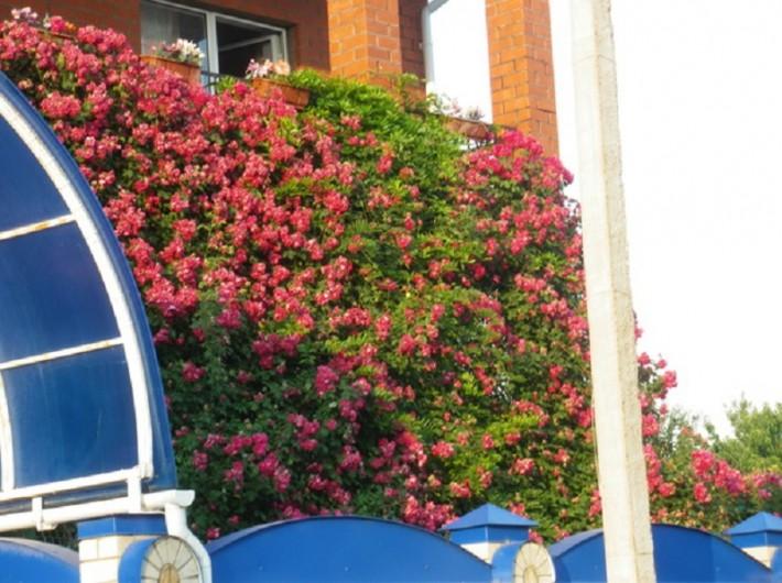 И вот такими цветами украшен практически каждый дом