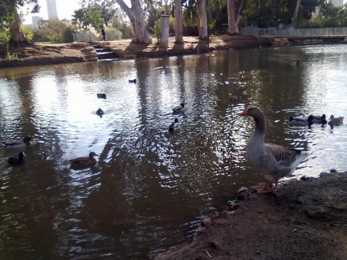 Огромный гусь – звезда парковых озер