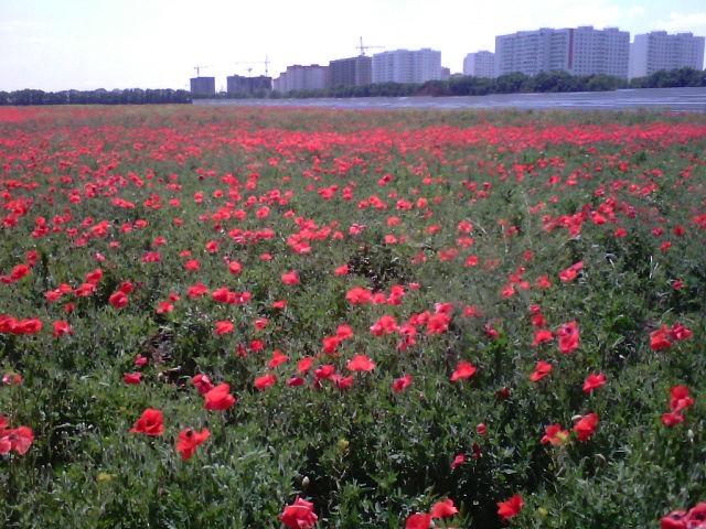 Стройка наступает на поля цветущих маков