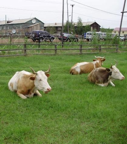 Нюрба. Коровы в городском парке