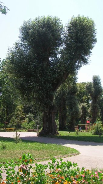 Деревья старого парка