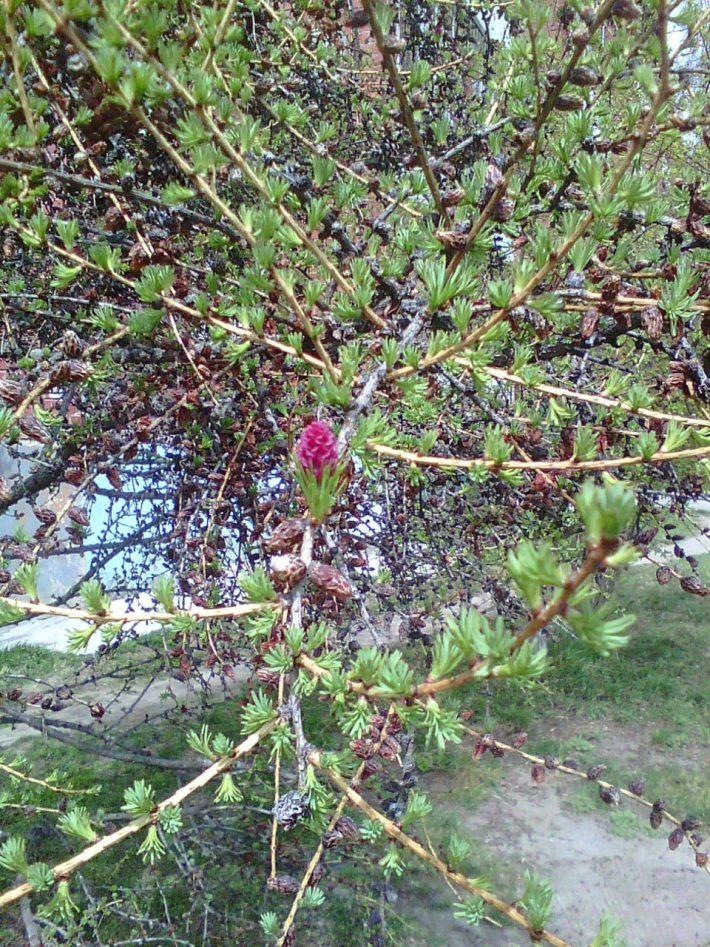 Цветущая лиственница весной