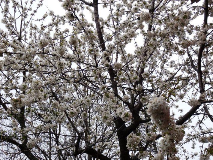 Цветущая груша в Новочеркасске
