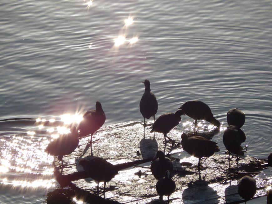 Лысухи или водяные курицы