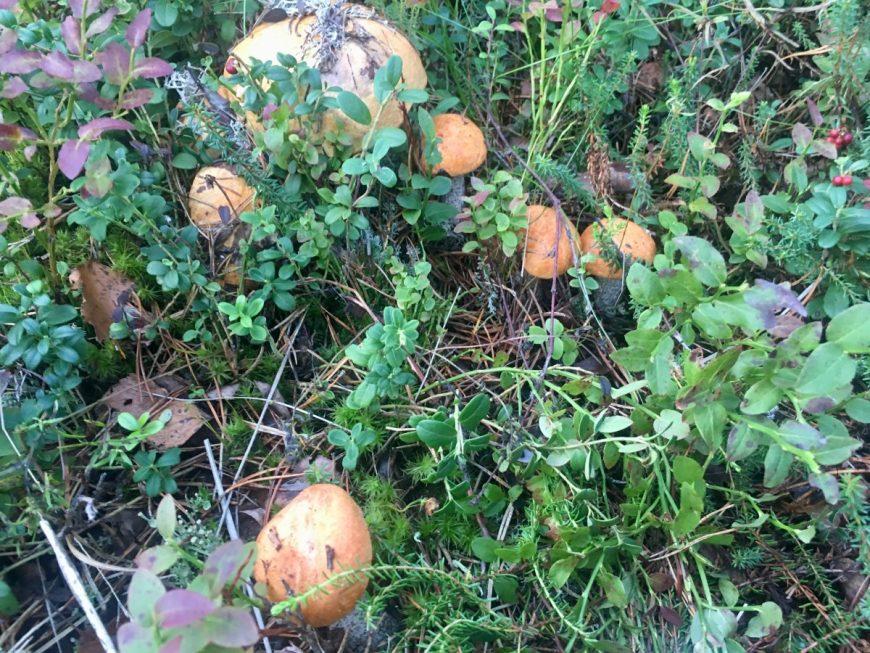 Финские грибы