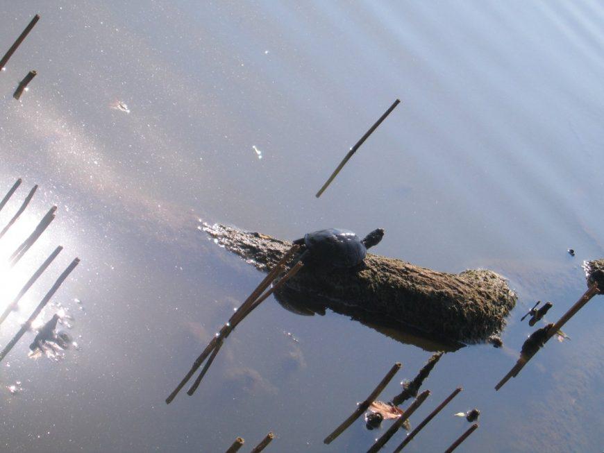 Черепаха греется на солнышке