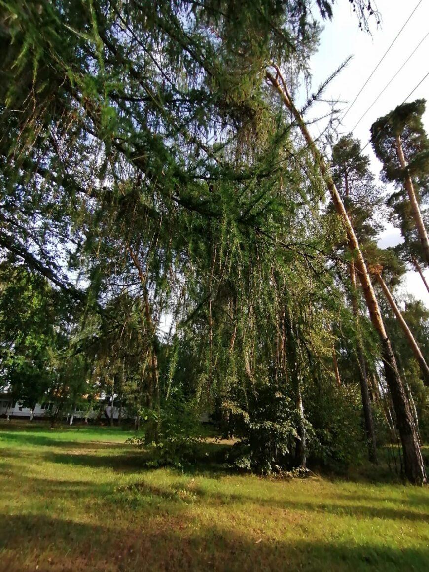 Лиственницы и сосны в Глуховском парке