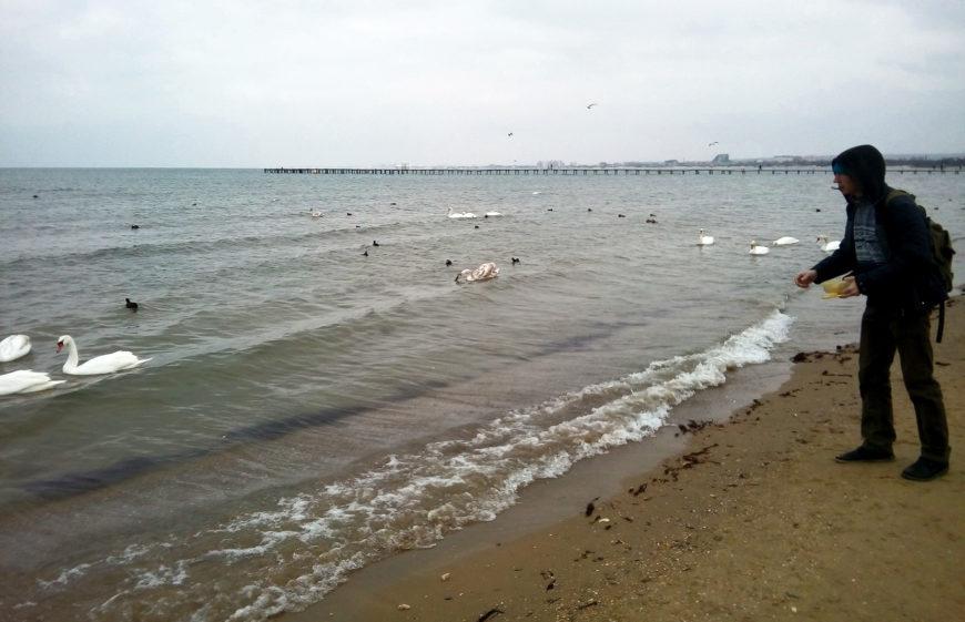Кормить лебедей в Анапе в зимнее время, милое дело )