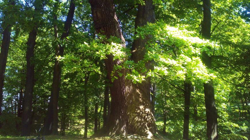 Исполинский дуб в Центральном парке