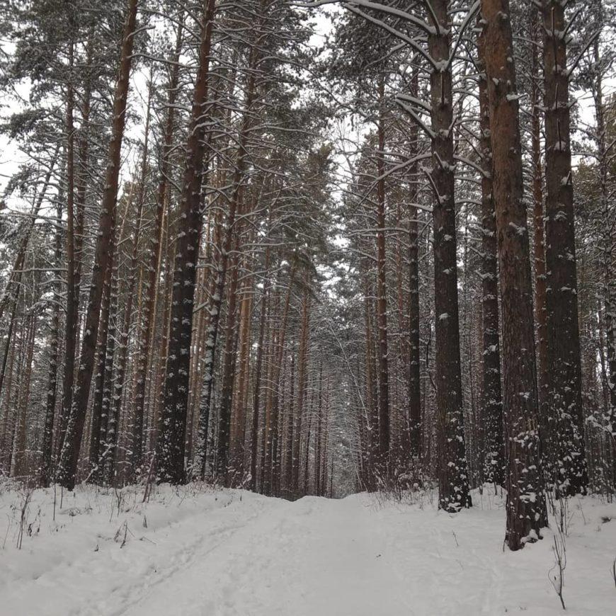 Сосновый лес за моим домом