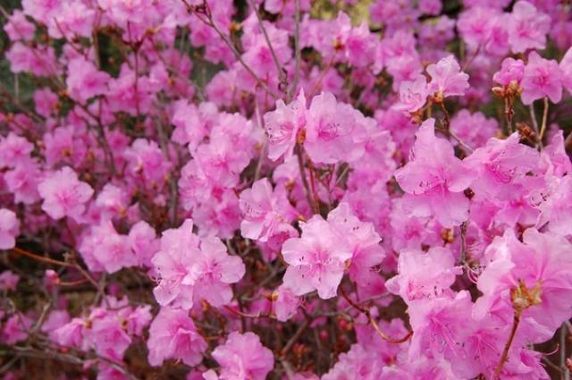 Рододендрон остроконечный - цветочный символ Владивостока