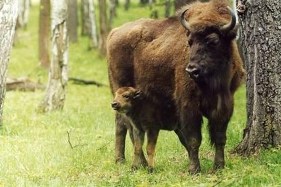 Мамаша с маленьким зубрёнком в Приокско-террасном заповеднике