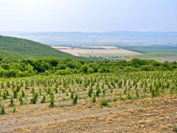 Анапские виноградники