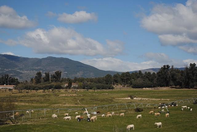 Согласитесь, что с такими обильными стадами в подавляющем большинстве местностей Португалии есть, какой работой заняться... Снимок сделан в португальском округе Гуарда спустя полтора часа после предыдущей фотографии: разница налицо