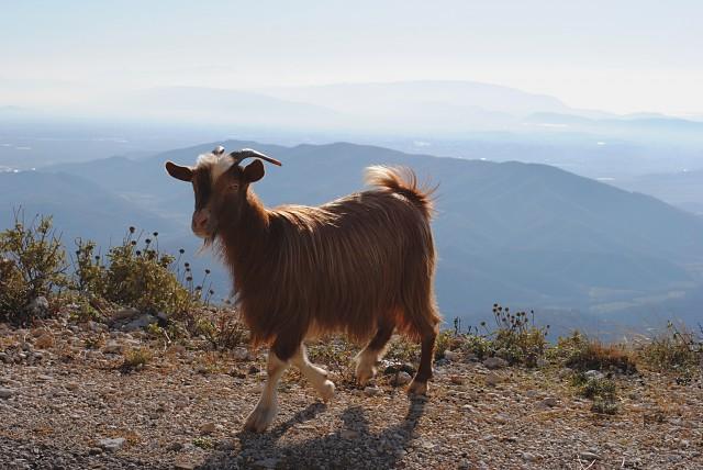 Одно из любимых домашних животных в горных општинах Черногории. По дороге нам попалось целое стадо этих миляг.