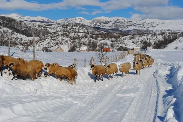 ...и некоторые из этих семей вполне богаты. На снимке: примерно пятая часть относительно небольшого по местным меркам стада баранов и овец