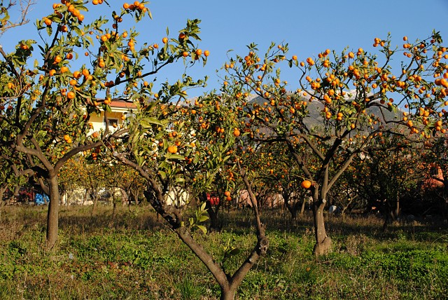 В семье Милана, хозяина этого прекрасного мандаринового сада, мужчины почему-то не едят этих дивных плодов. Мандарины в семье Милана принято дарить постояльцам его платных апартаментов...