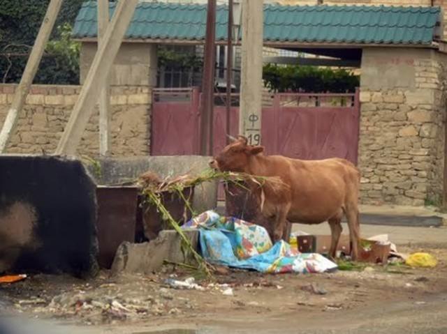Корова на улице. Характерная картина для частного сектора Каспийска
