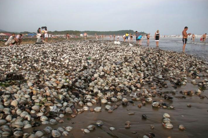 Это не манна небесная. Это моллюски, которые принес жителям Владивостока очередной тайфун