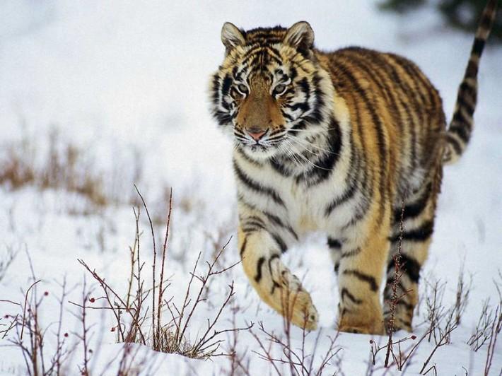 Амурский тигр — хозяин тайги