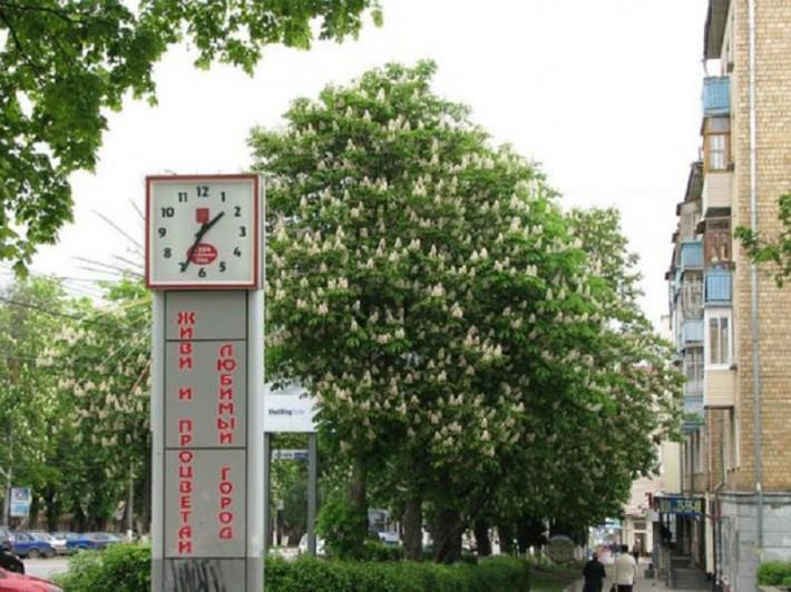 Цветущие каштаны в центре города