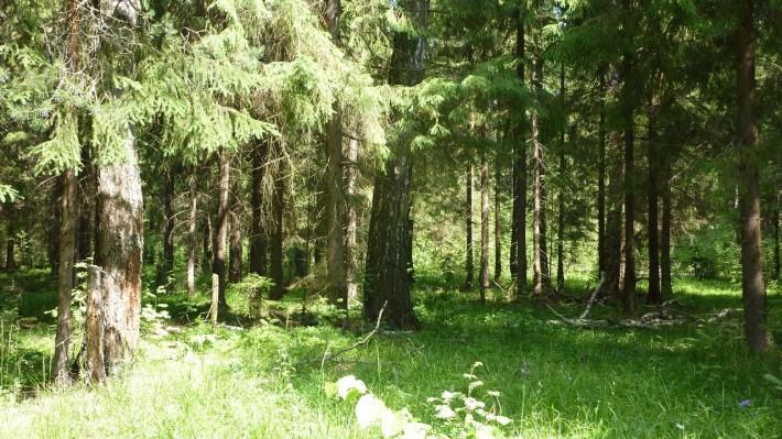 Куваевский лес в Ивановской области