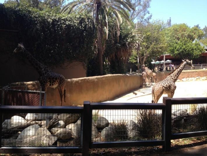 Вольер с жирафами в зоопарке Лос Анджелеса