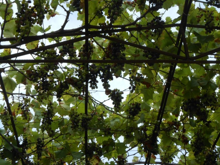 Море винограда
