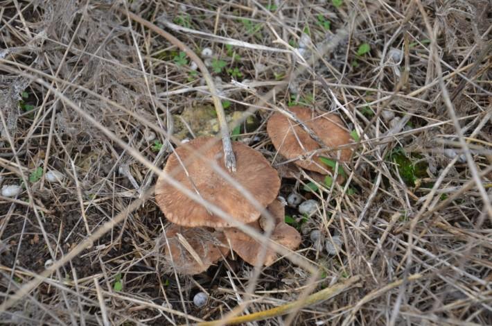 Крымские степные грибочки. Вполне себе вкусные