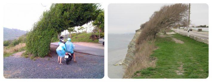 Слева: куст на мысе Промтеп, на Пхукете, справа: на Круче, в Геленджике