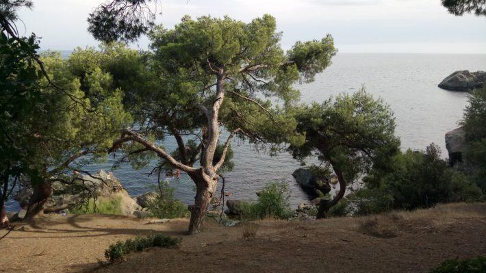 Сосны на морском берегу