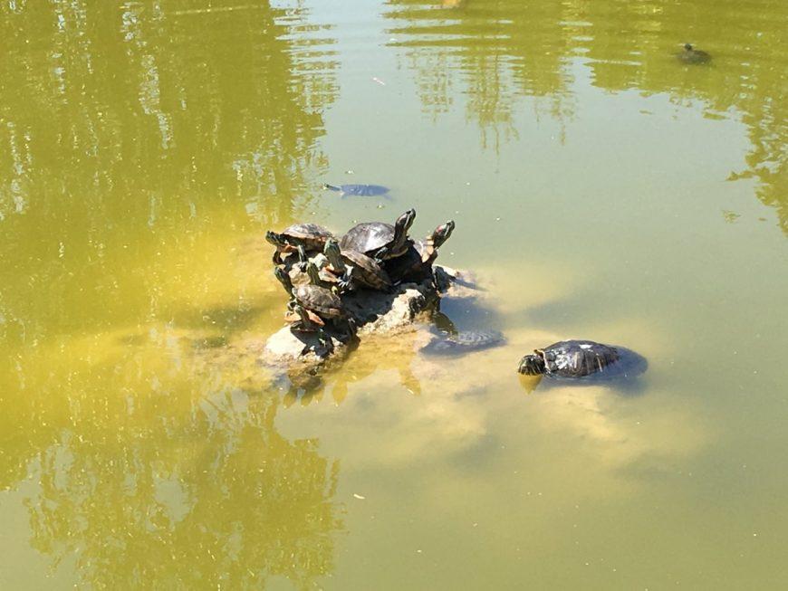 Черепашки в пруду возле одного ТЦ в Севастополе